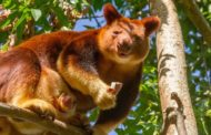 Baby tree kangaroo takes first steps, decides pouch is better than world
