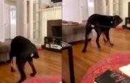 Dog has existential crisis after finally catching his tail