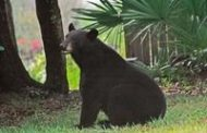 Florida black bears are more active in the fall